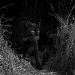 Black leopard was photographed for the first time in a century